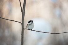 Image Of Beautiful Marsh Tit Bird Sitting On The Branch In The Winter Forest