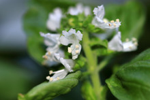 White Flowers Of Basil Herb Le...