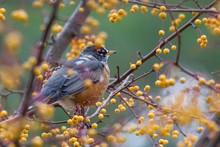 Robin In Golden Winterberry Tree