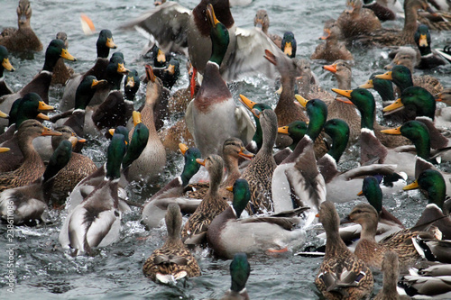 Mallard ducks crowd afloat. Mass of mallards (Anas platyrhynchos) wintering in city. Minsk, Belarus