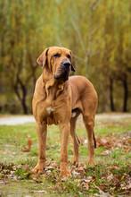 Fila Brasileiro Dog Portrait, ...