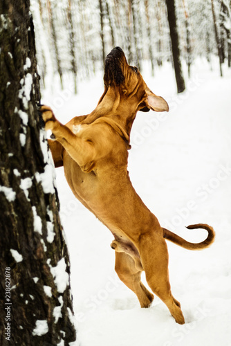 Fotografie, Tablou  Adult Fila Brasileiro having fun in snow
