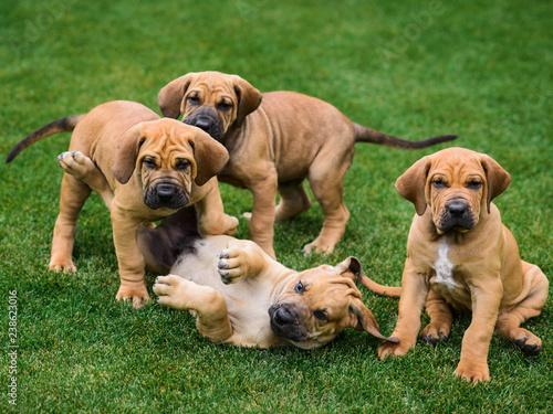 Obraz Four Fila Brasileiro (Brazilian Mastiff) puppies having fun - fototapety do salonu