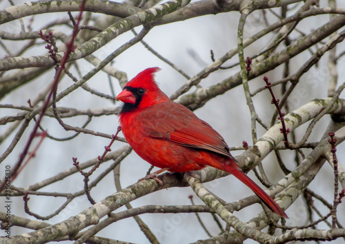 northern cardinal on a branch Canvas Print