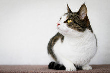 Sitting Cat Looking Up On White Background