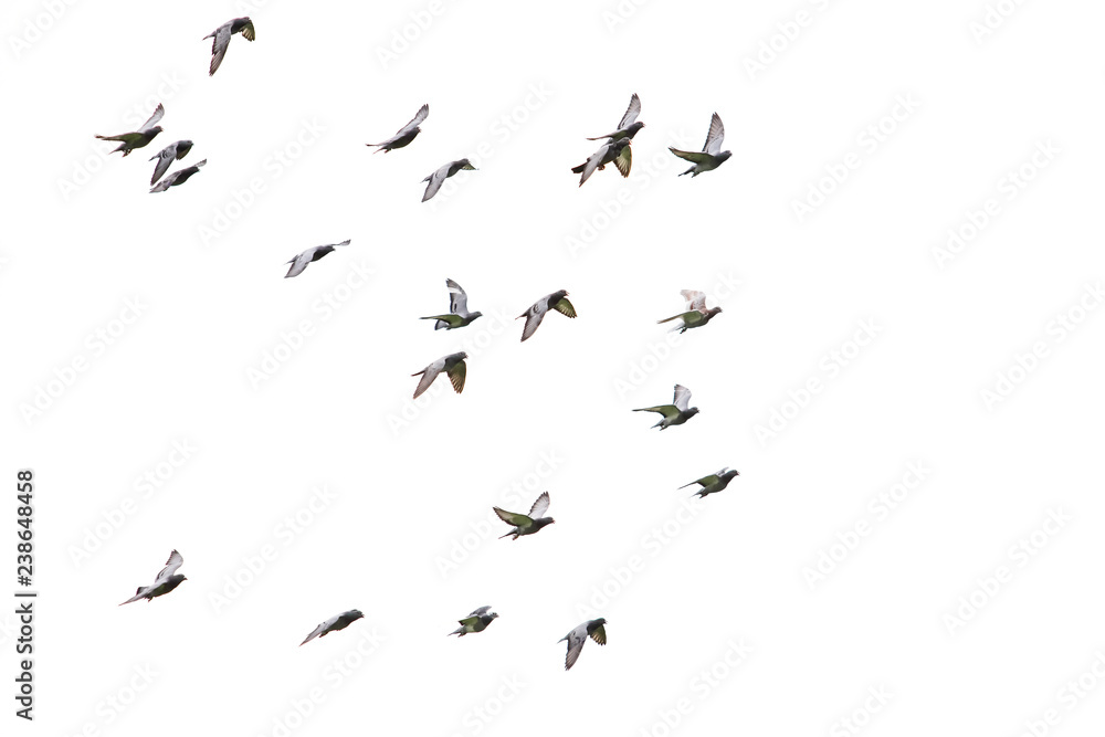 Fototapety, obrazy: flock of speed racing pigeon flying isolated white background