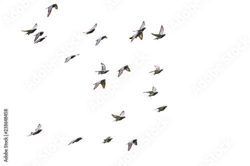 Spoed Foto op Canvas Vogel flock of speed racing pigeon flying isolated white background