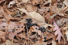 Deer Scat In The Woods On Fallen Leaves