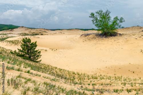 The group aspen trees among the sandy desert Fototapeta