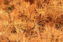 Dried Pine Leaves Needles Brow...