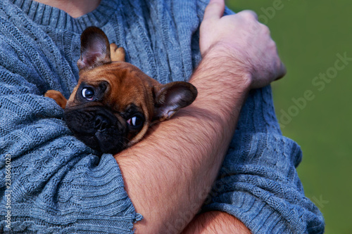 Fotobehang Franse bulldog Dog breed French Bulldog