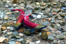 Spawning Sockeye Salmon - Adam...