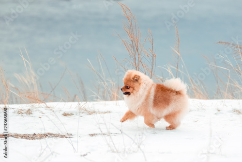 Foto  Red-dog breed Pomeranian running down the hill in winter