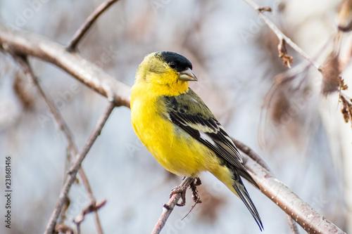 Fototapeta Male Lesser Goldfinch (Spinus psaltria) perched on a branch in a birch tree, sou