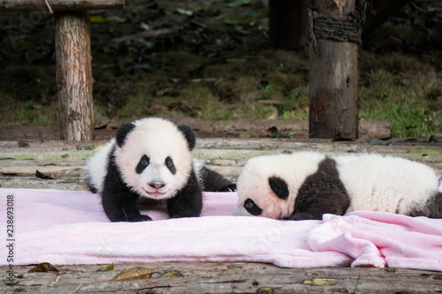 Two baby pandas on a pink blanket at the Panda Base in Chengdu, China Tapéta, Fotótapéta