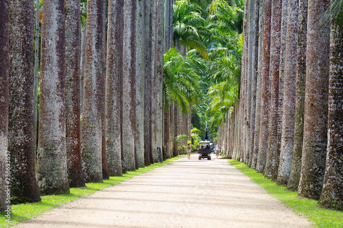 Tuinposter Centraal-Amerika Landen Rio de Janeiro, Brazil, Botanical garden. Royal palms. The main alley of the Botanical garden is very beautiful. It is also called Avenue of Royal palms.