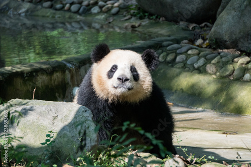 Fényképezés  Giant Panda walking toward the camera