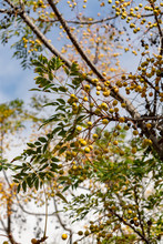 Melia Azedarach Or Chinaberry Tree, Pride Of India, Bead-tree, Cape Lilac, Persian Or Indian Lilac Tree