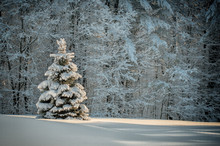 Snow Covered Spruce Tree Stand...