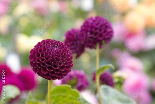 Poster de jardin Dahlia Deep purple dahlias