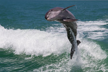 Dolphins Jump Out The Water