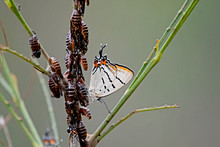 Imperial Hairstreak Butterfly Jalmenus Evagoras With Catapillar Amd Ants On A Branch