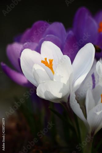 Foto op Plexiglas Krokussen Early spring. Large flowers of crocuses. White and violet petals, bright orange stamens.