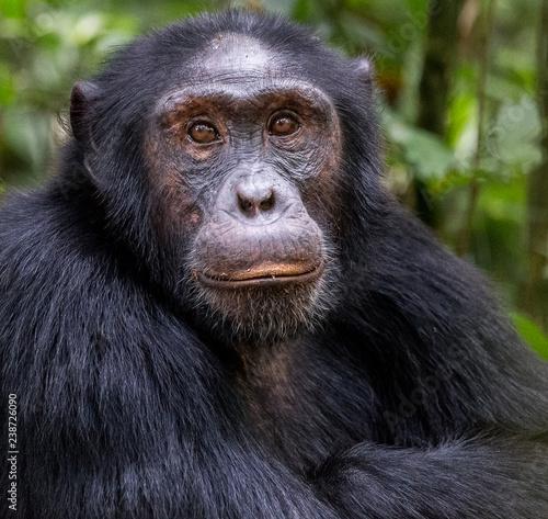 Fotomural Chimpanzee