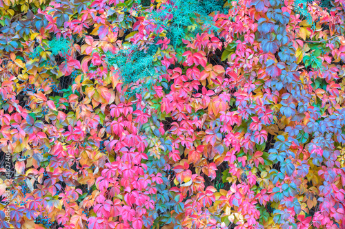 Climbing ivy plant with red or pink leaves on a wall - Autumn landscape with red leaves