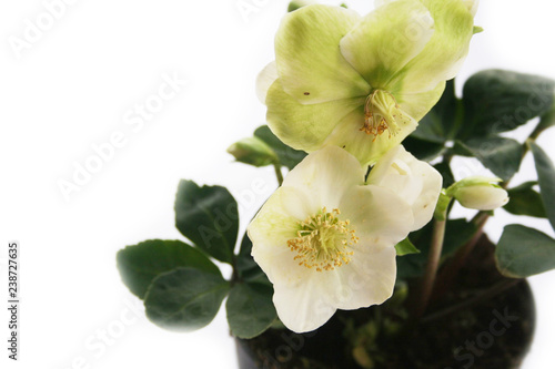 Fotografía  Hellebore or Christmas rose isolated on white background