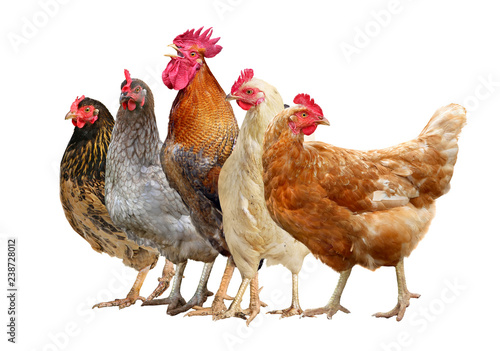 La pose en embrasure Poules chickens, rooster and hen isolated on white background.