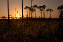 South Florida Pine Rockland Forest At Sunset, In Picayune Strand State Forest
