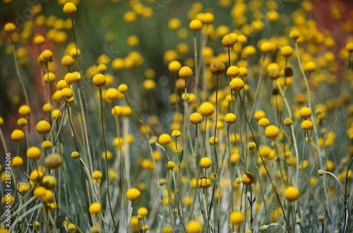 Australian native Yellow Billy Button flowers, Craspedia glauca, daisy family Asteraceae. Also known as woollyheads or drumstick flowers.