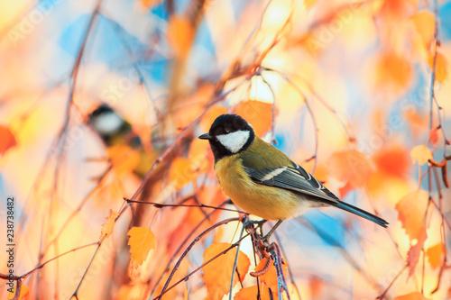Naklejka premium piękny mały ptak siedzący w słonecznym parku na brzozy z żółtymi jasnymi liśćmi jesienią na tle błękitnego nieba