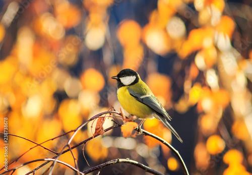 Naklejka premium naturalny z sikorka siedząca w słonecznym parku na brzozie z żółtymi jasnymi liśćmi jesienią