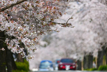 桜満開の北桜通りを走...