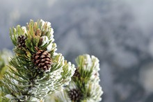 Spruce Cones In The Forest In ...