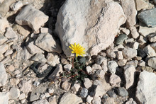 A Small Yellow Flower Growing Among The White Stones