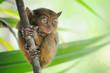 animal tarsier