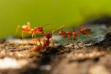 Ants,red Ants  Teamwork.