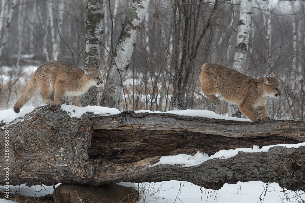 Female Cougars (Puma concolor) Chase Across Log