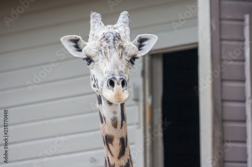 Photo  Giraffe head from  Africa