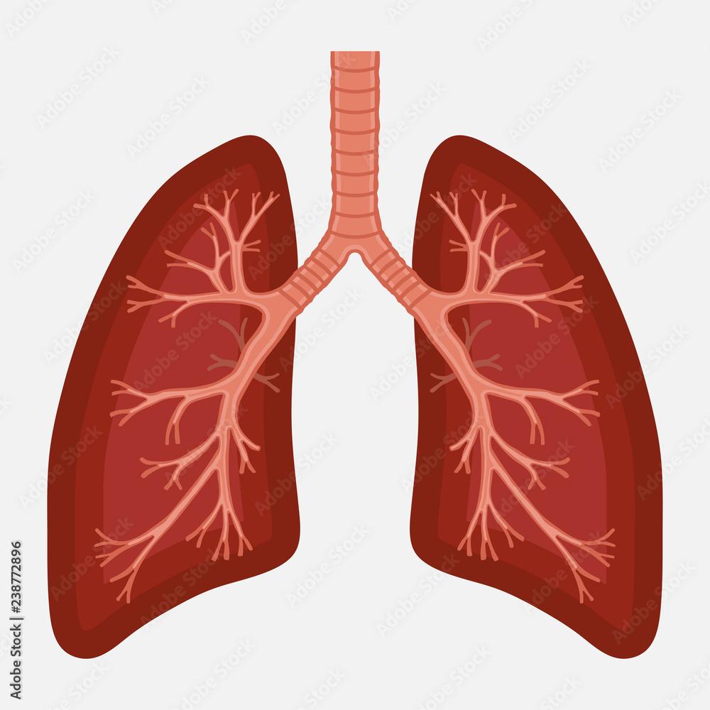 Fototapeta human lung anatomy diagram. illness respiratory cancer