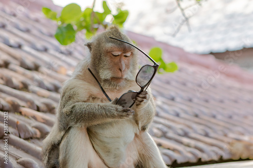 Fotografia, Obraz  Monkey Trying to Figure Out the Use of a Pair of Sunglasses
