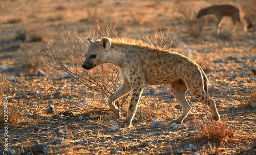 Fotografía Close up, panoramic photo of Spotted hyena, Crocuta crocuta with upright, backlighted mane, two hyenas running on early morning dry savanna