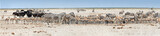 Fototapeta Sawanna - anoramic photo of huge herds of wildlife drinking at busy waterhole, Etosha, Namibia. Etosha national park safari game drive in Namibia. Wildlife photography in South Africa, Botswana and Namibia.
