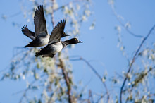 Two Ring-Necked Ducks Taking T...