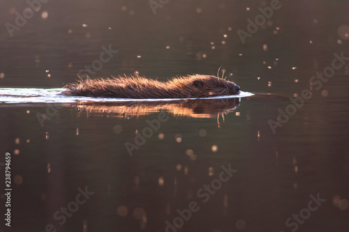 Eurasian beaver is swimming in evening light. Castor fiber Wallpaper Mural