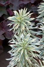 Euphorbia Characias Tasmanian Tiger