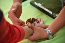 A Tarantula Climbs Up The Arm ...